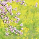 春は「さくら」が1位!「はる」も急上昇!春生まれ名づけトレンド【女の子】
