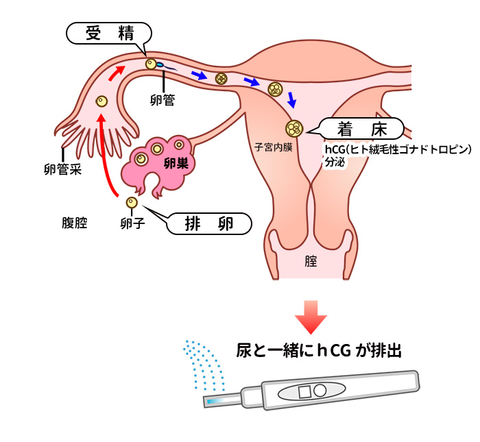 妊娠のメカニズム(受精~着床~妊娠検査の流れ)