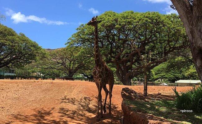 ホノルル動物園キリン