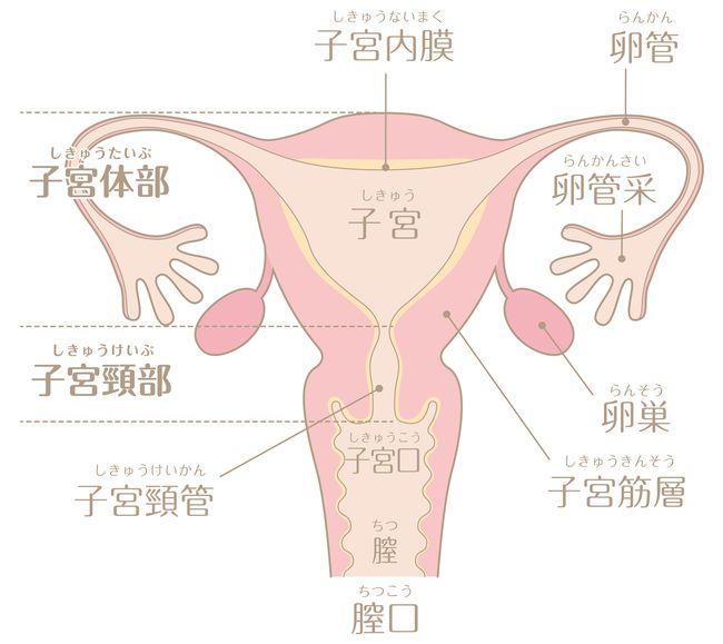 子宮イラスト